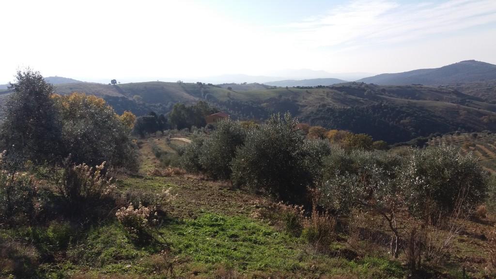 Gli olivi sono gli alfieri della nostra azienda agricola