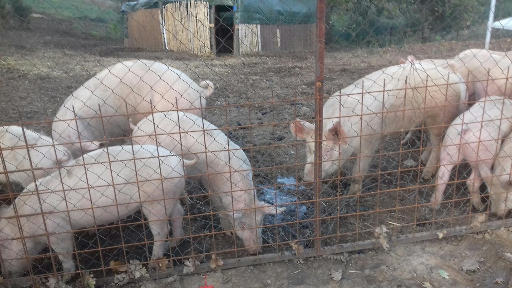 I nostri maiali ....