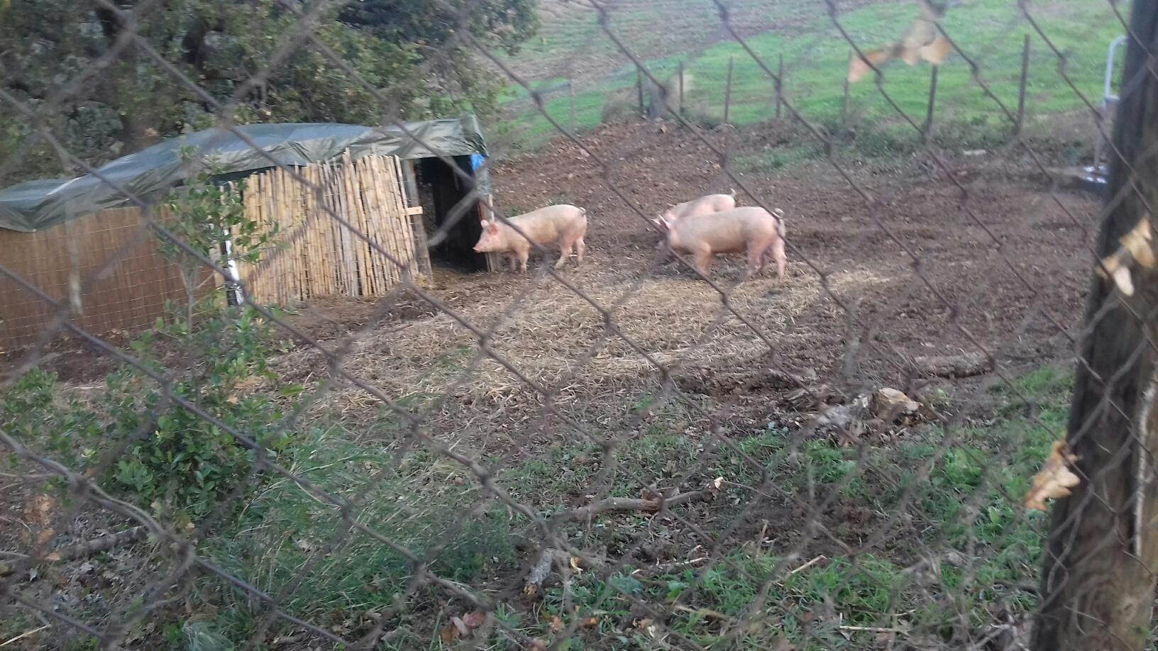 Di nuovo i nostri maiali, allevati allo stato brado