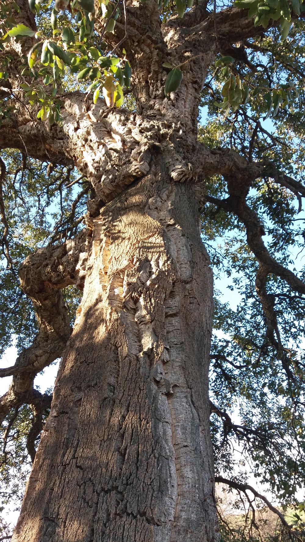 La quercia da sughero