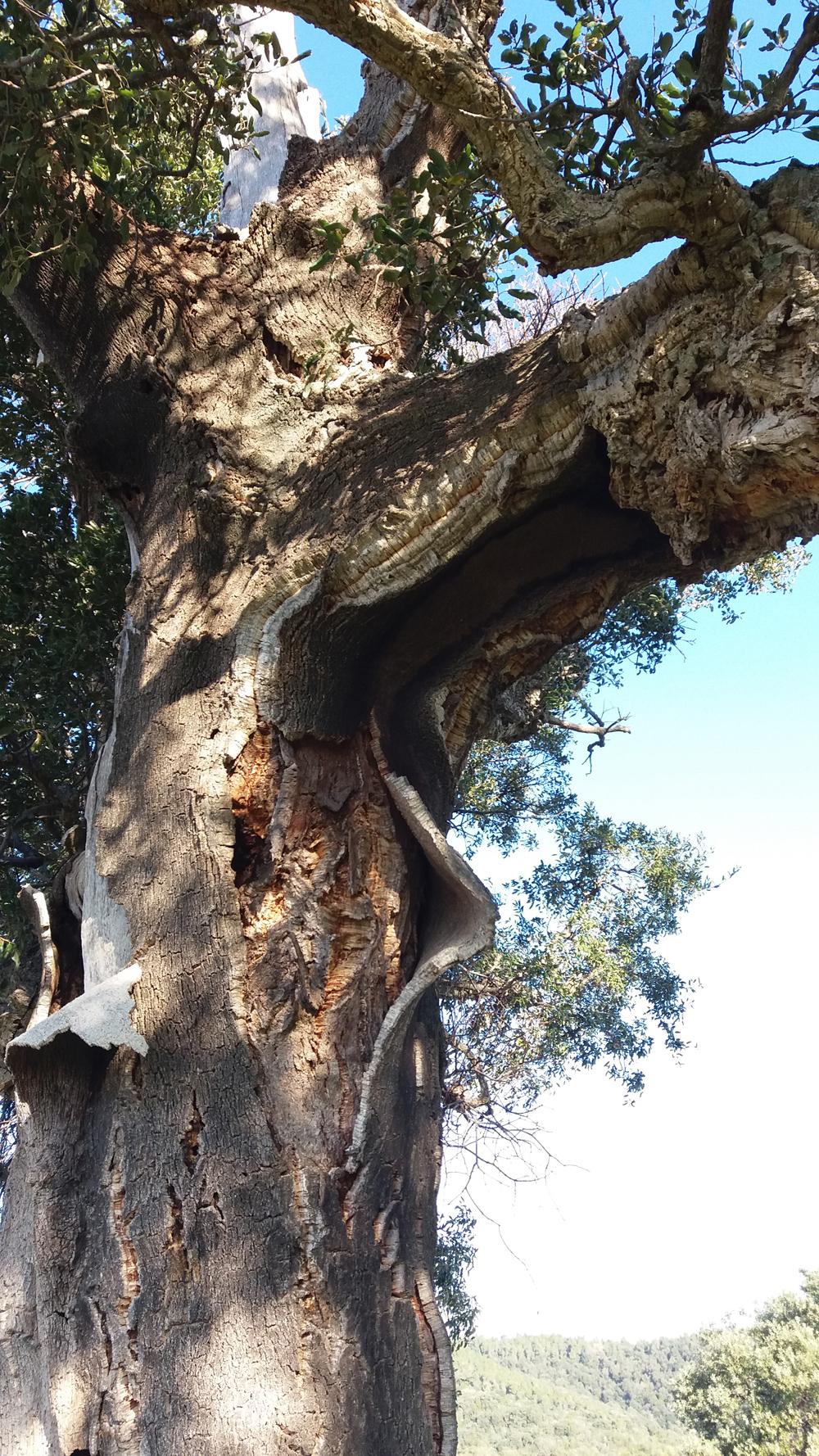 Interessante questo tronco di quercia da sughero ...