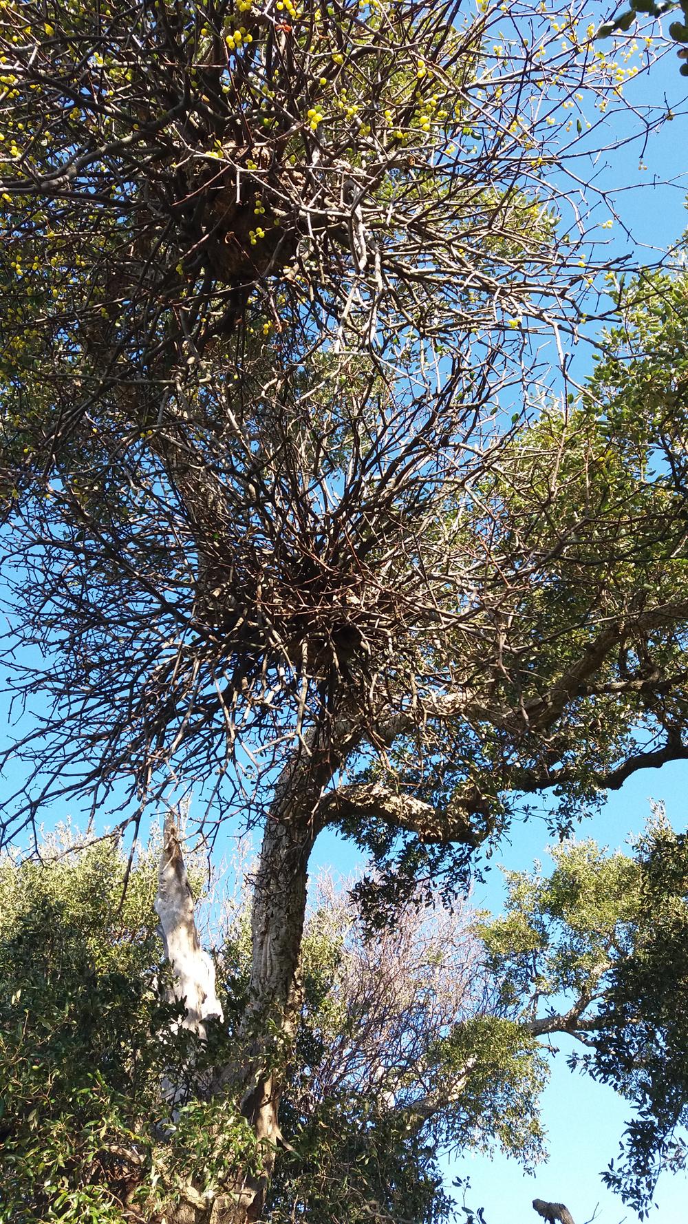 Un altro albero maestoso ...