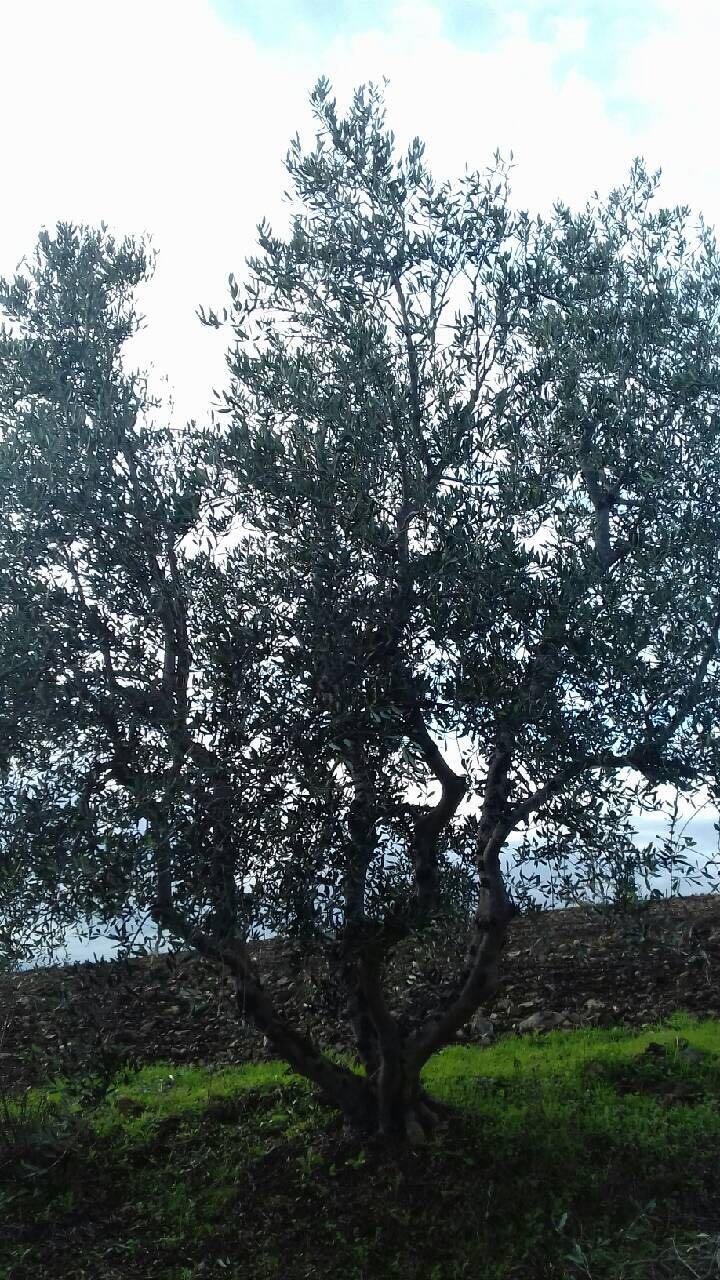 Incontrare un albero centenario non è difficile ...