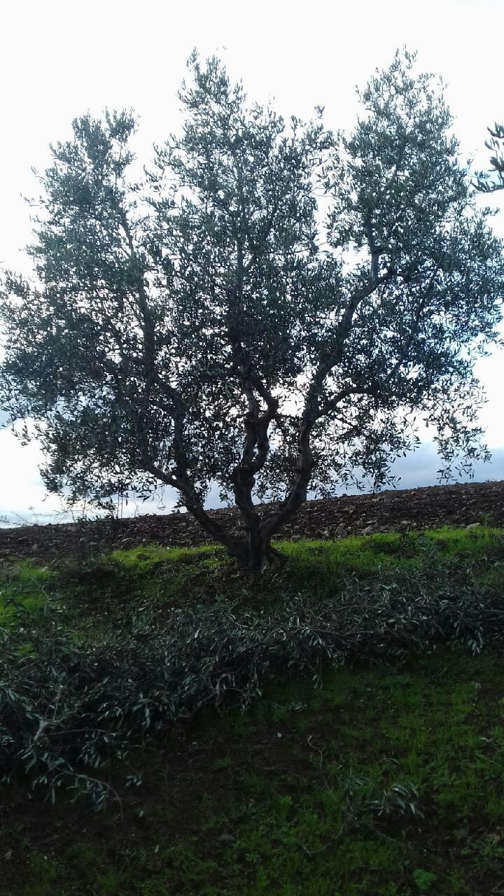 Trovare un altro albero centenario non è un'impresa rischiosa ...