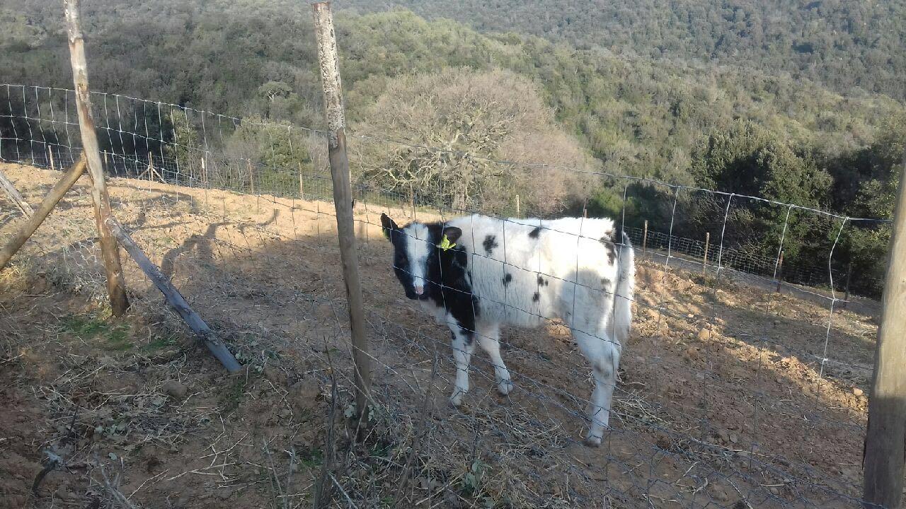 Un altro bovino fuori per una passeggiata ...